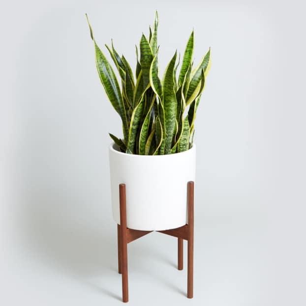lidah-mertua-snake-plant