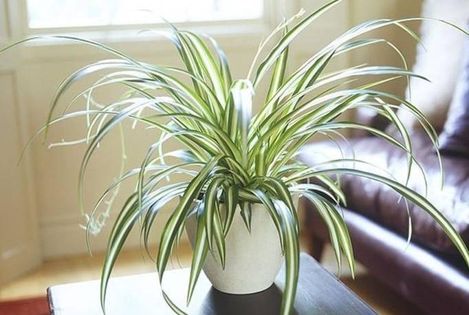 spider-plant-chlorophytum-comosum