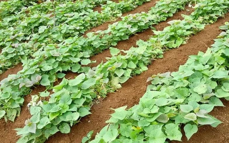 panduan-lengkap-cara-budidaya-ubi-jalar-organik-yang-baik-bagi-pemula