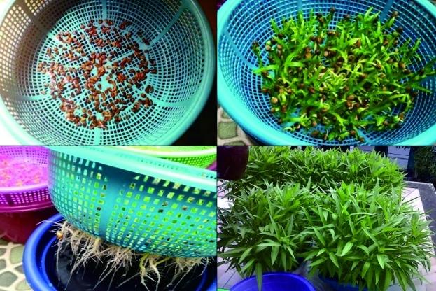 menanam-kangkung-hidroponik-menggunakan-baskom
