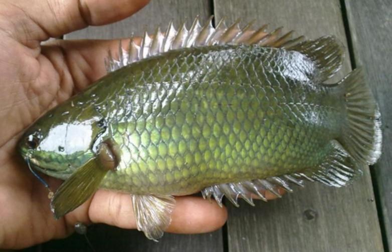 4 Panduan Lengkap Cara Budidaya Ikan Betok Di Kolam Terpal ...