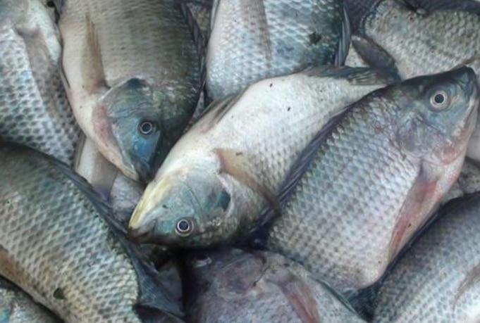 5 Panduan Lengkap Cara Budidaya Ikan Nila Di Kolam Tanah Agar