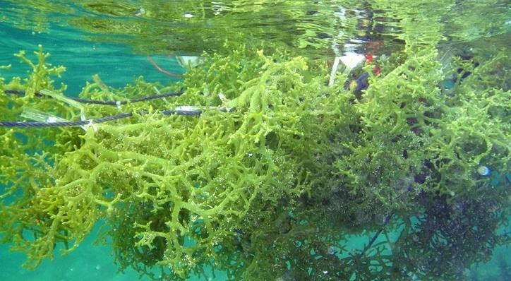 budidaya-rumput-laut