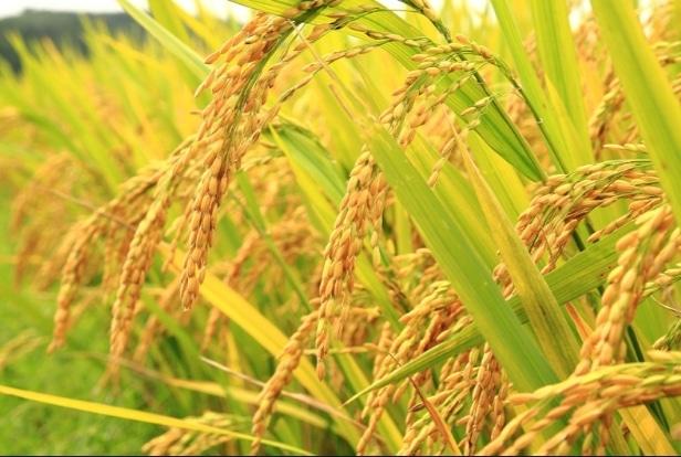 budidaya-tanaman-padi