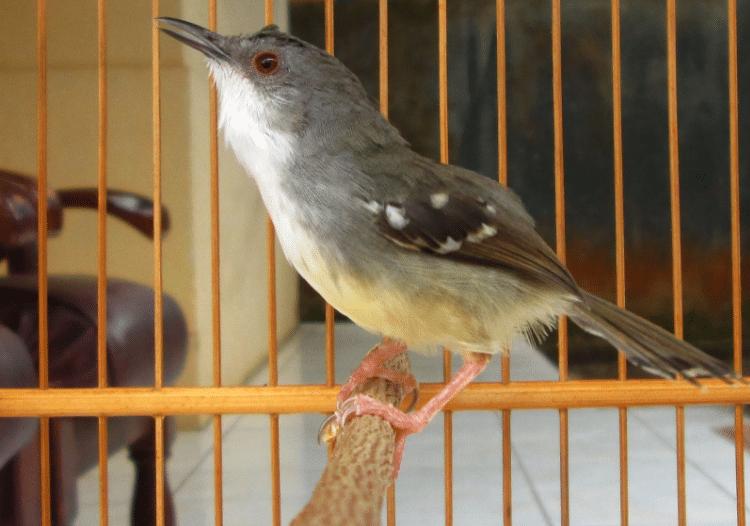 Cara Mudah Budidaya Ternak Burung Ciblek Bagi Pemula ...