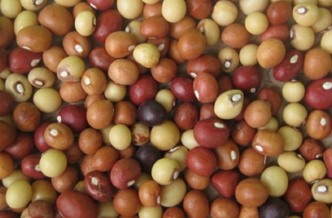 Kacang Bogor atau Bambara Groundnut (Vigna subterranea)