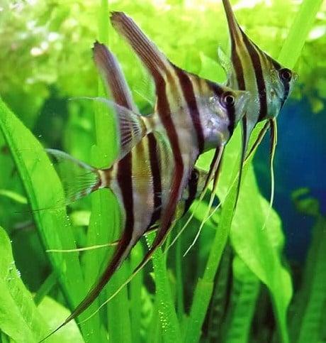 Angel Fish (Manfish) atau Ikan Bidadari