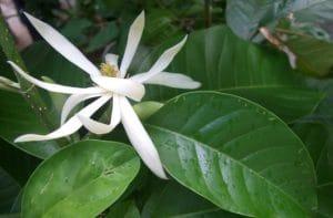 Budidaya Bunga Cempaka