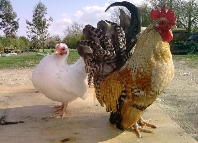 Budidaya Ternak Ayam Kate