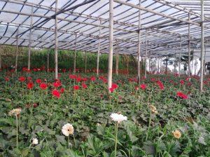 Cara Menanam Bunga Gerbera