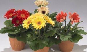 Cara Menanam Bunga Gerbera Dalam Pot