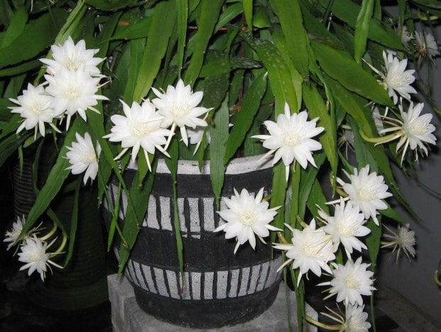 Cara Menanam Dan Merawat Bunga Wijaya Kusuma