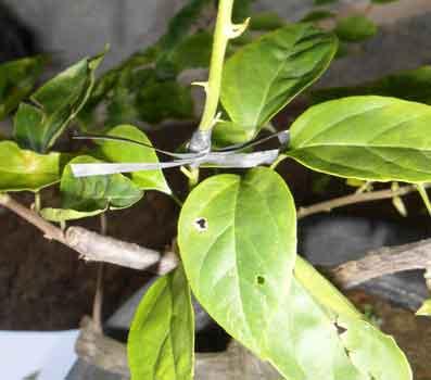 Cara Mudah Sambung Pucuk Atau Stek Bunga Kertas Bunga Bougenville Untuk Pemula Faunadanflora Com