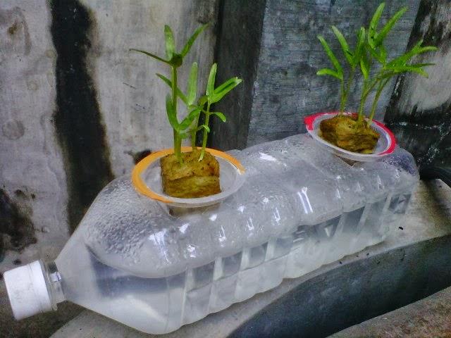 Hidroponik Kangkung Dengan Model Botol rebah