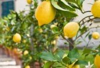 Jeruk Lemon Dalam Pot