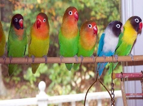 Membedakan Lovebird