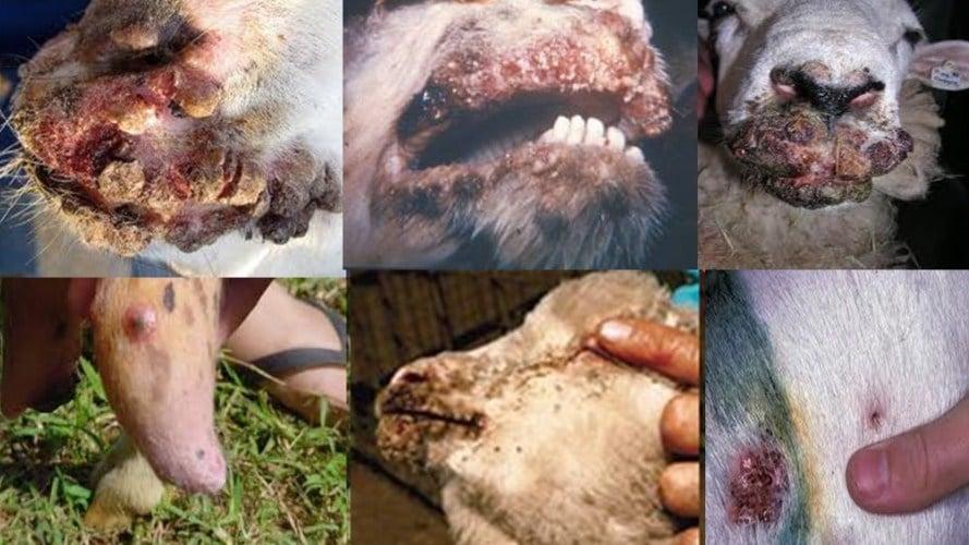 Penyakit Pada Kambing atau Domba