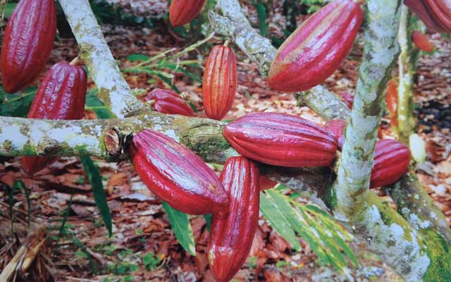 Teknik Cara Sambung Samping Tanaman Kakao