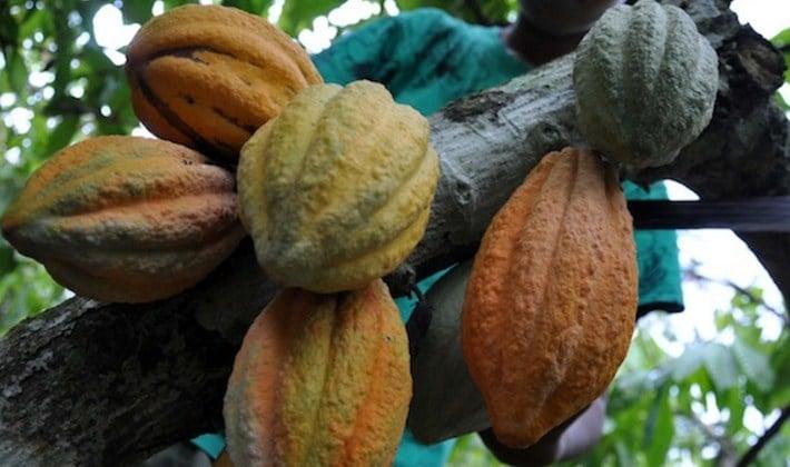 Teknik panen buah kakao