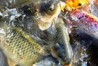 Hama dan Penyakit Ikan Mas
