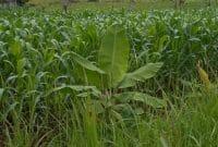 Menanam Jagung Dengan Metode Tanpa Olah Tanah