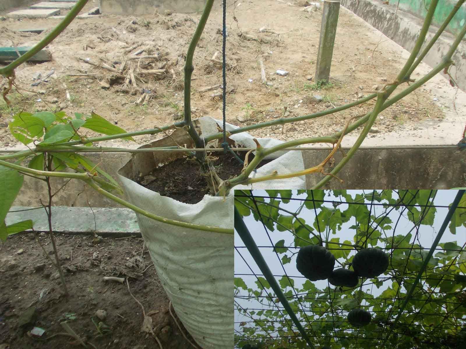 Panduan Lengkap Cara Budidaya Labu Kuning Dalam Polybag Pot Bagi Pemula Faunadanflora Com