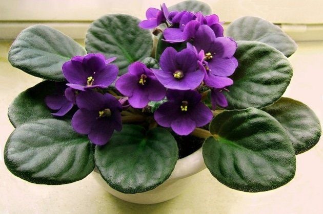 Bunga African Violet