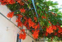 Bunga Flame of Irian