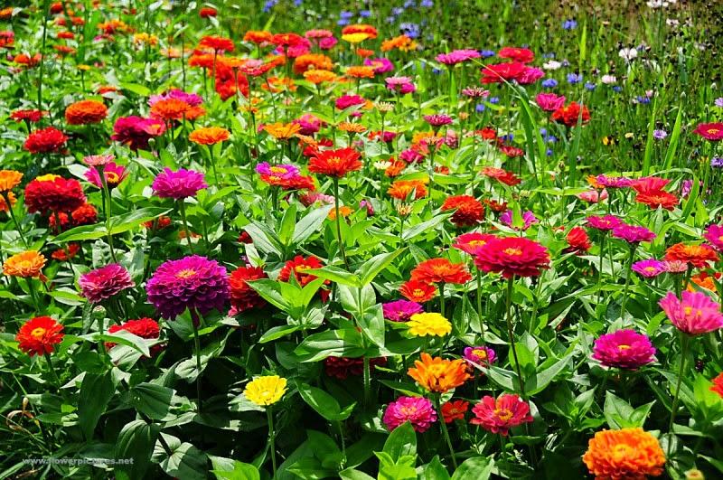 Bunga Zinnia