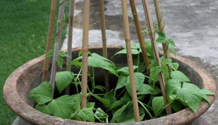 Cara Menanam Buncis Di Pot atau Polybag