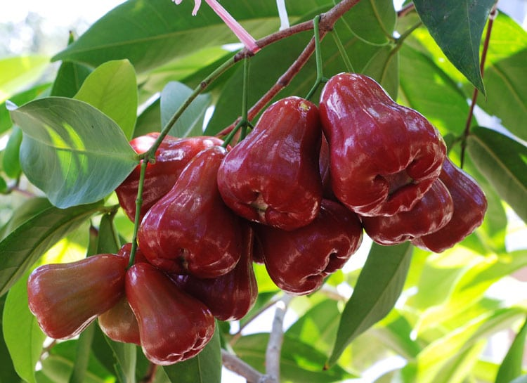 Jambu Air Madu