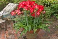 Menanam Bunga Amaryllis