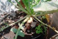 Menanam Lobak Dalam Pot