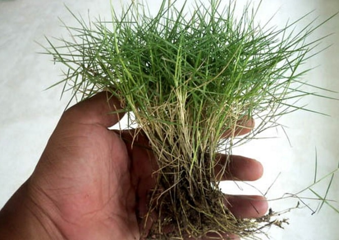 Cara Menanam dan Merawat Rumput Jepang Yang Baik dan Benar ...