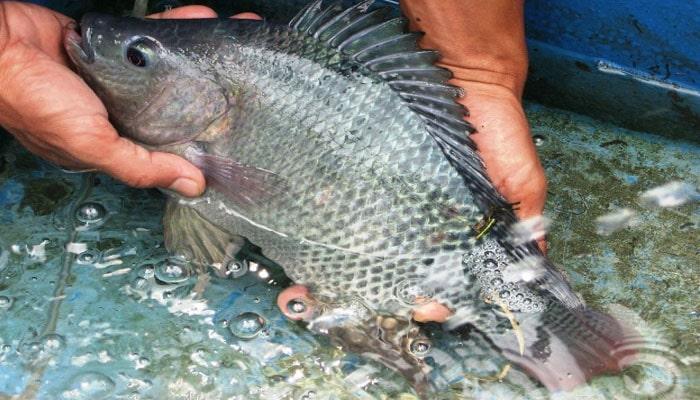 Cara Budidaya Ikan Gurame Di Kolam Terpal