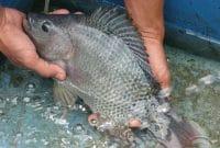 Cara Budidaya Ikan Gurame di Kolam Tembok Beton