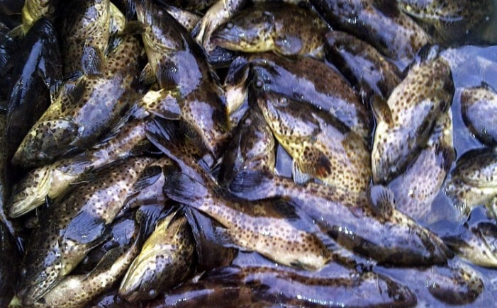 Cara Budidaya Ikan Kerapu