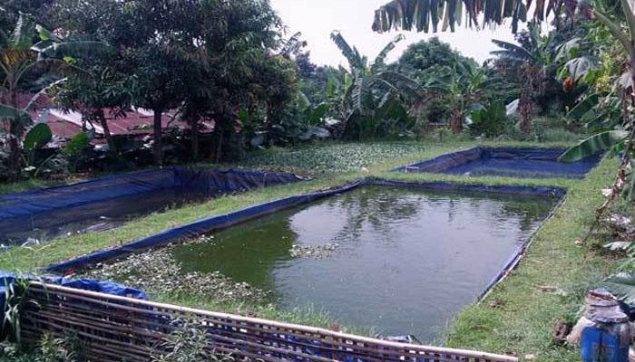 Cara Budidaya Ikan Nila Di Kolam Terpal