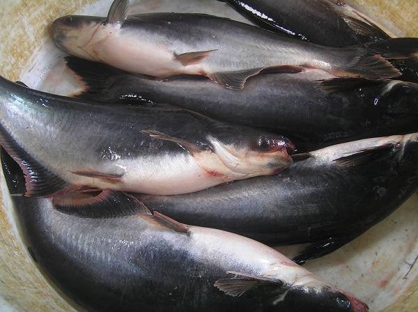 Cara Budidaya Ikan Patin