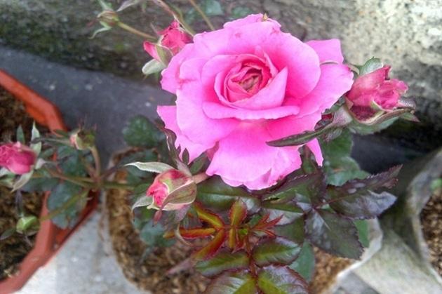 Cara Menanam Bunga Mawar Dengan Stek Batang