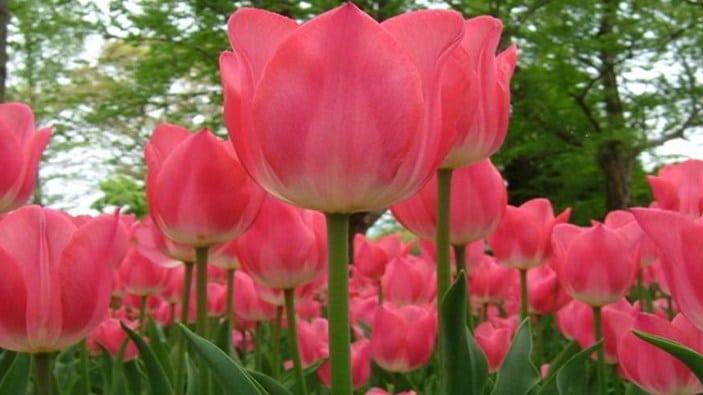 Cara Menanam Bunga Tulip Di Indonesia