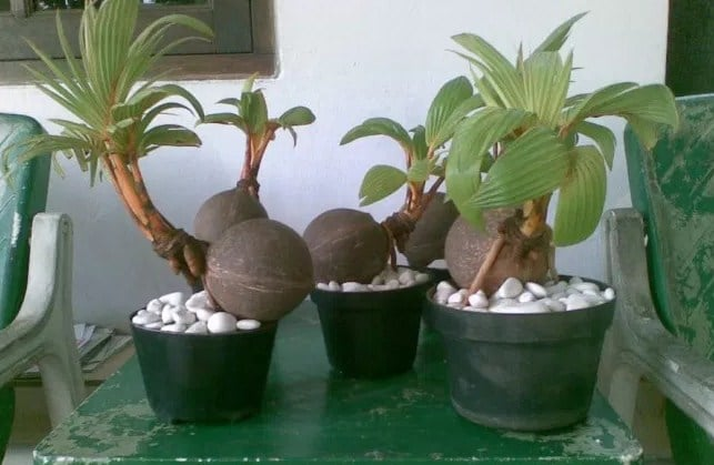 Video Cara Membuat Bonsai Kelapa Blogger Bonsai