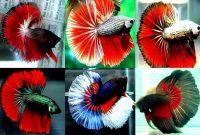 Perbedaan Ikan Cupang Hias dan Ikan Cupang Aduan
