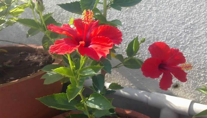 Unduh 4800 Gambar Daun Bunga Raya Merah Gratis Terbaru
