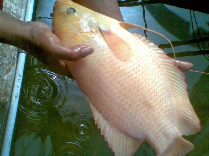 Jenis Ikan Gurame Yang Cepat Besar