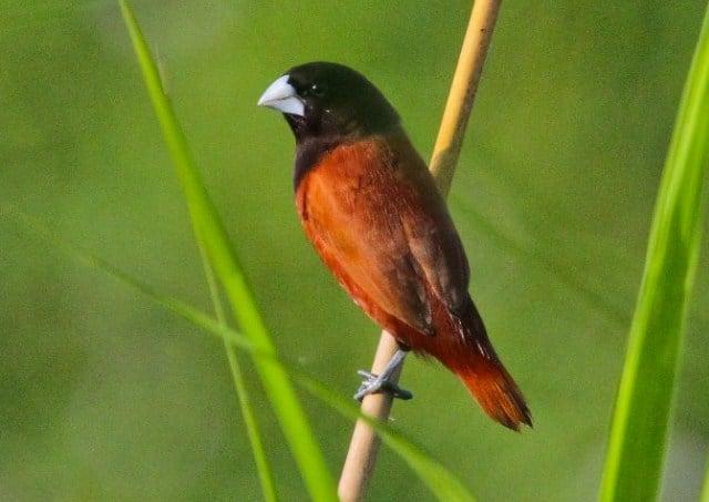 Unduh 106+ Foto Gambar Burung Pipit Jantan  Terbaru Gratis
