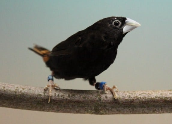 Unduh 480+  Gambar Burung Pipit Betina  Paling Bagus