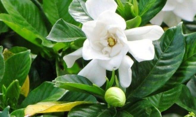 80+ Gambar Bunga Gardenia Terbaru