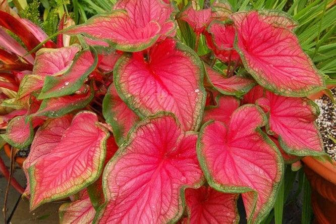 87+ Gambar Bunga Keladi Merah Paling Mekar