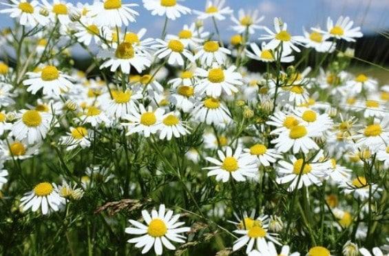 Cara Mudah Menanam Dan Merawat Bunga Chamomile Dari Biji Bagi Pemula Faunadanflora Com
